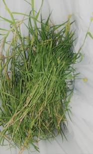 grass burrs dying.jpg
